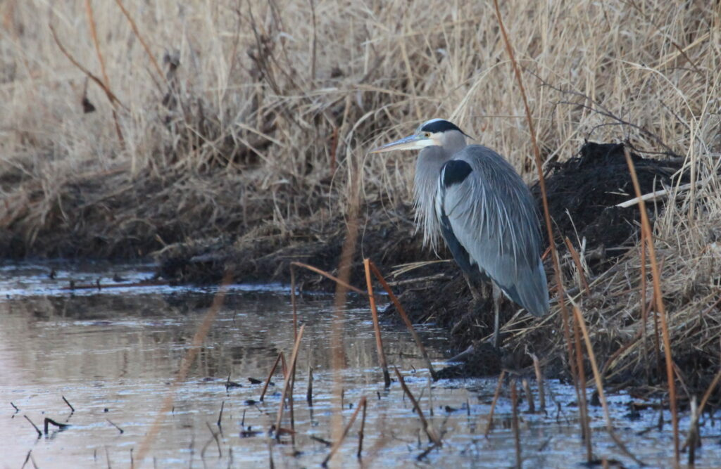 Great blue heron standing on marsh bank
