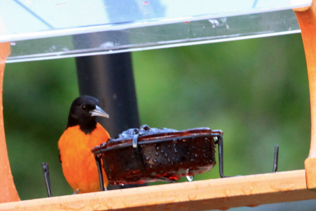 Baltimore oriole at jelly feeder
