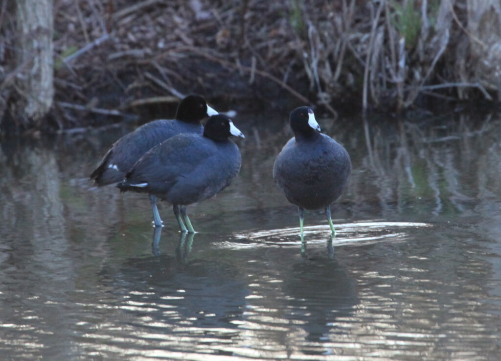 Three American coots standing in water