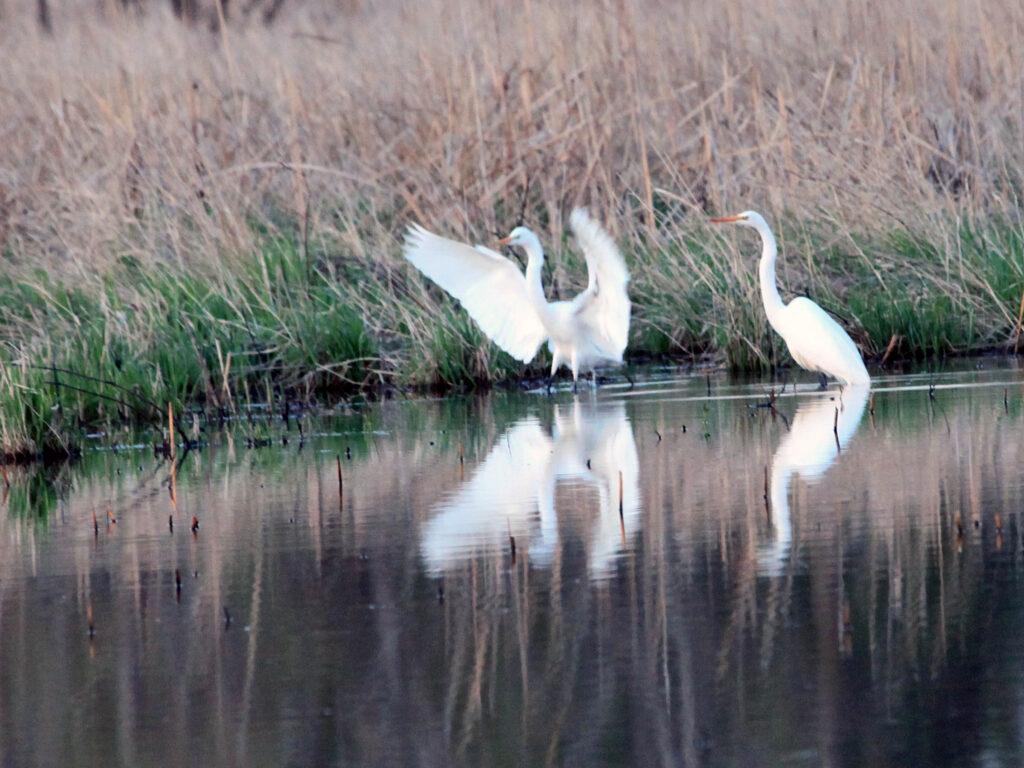 Great egrets standing in marsh