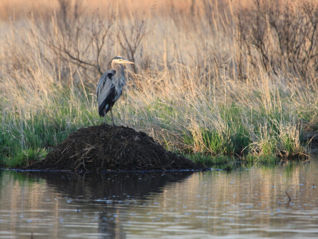 Heron standing on muskrat lodge