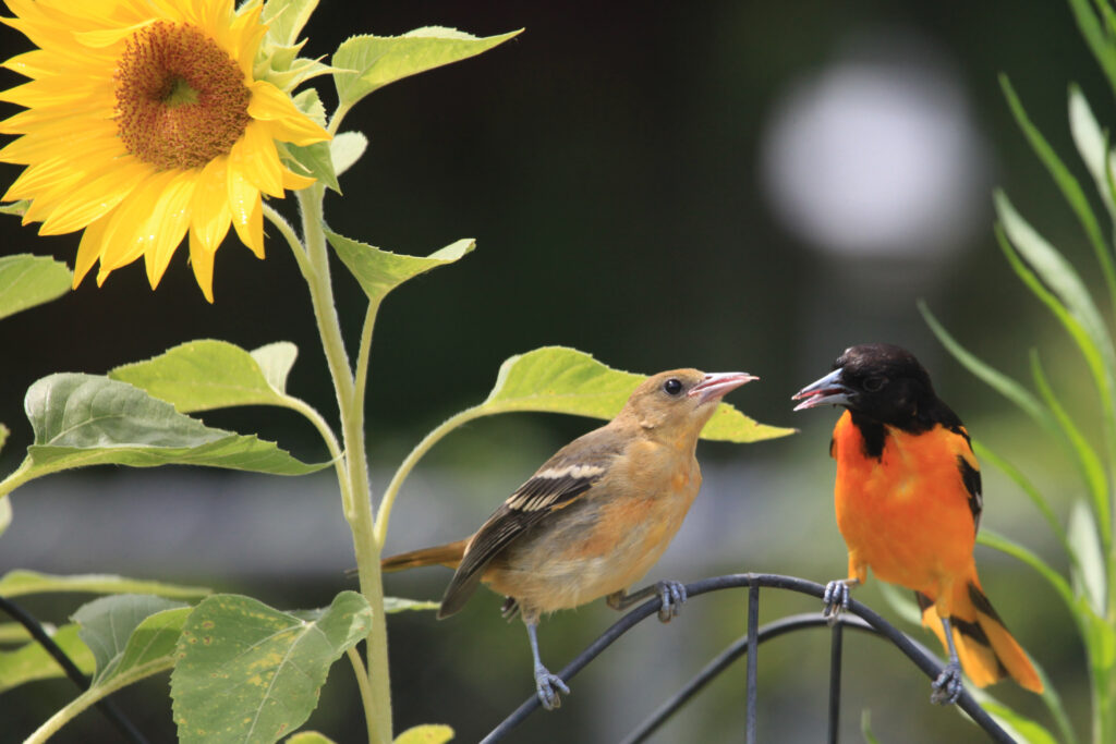 Baltimore oriole fledgling and parent