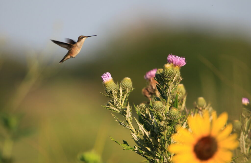 Female ruby-throated hummingbird hovering near blooming thistle