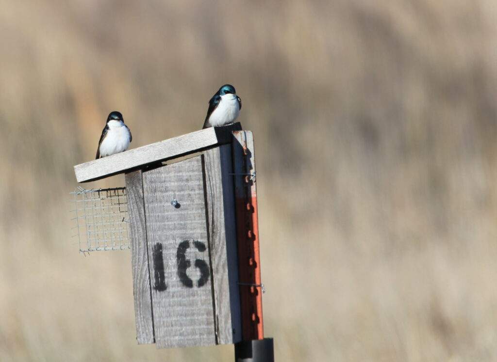 Two tree swallows sitting on top of nest box.
