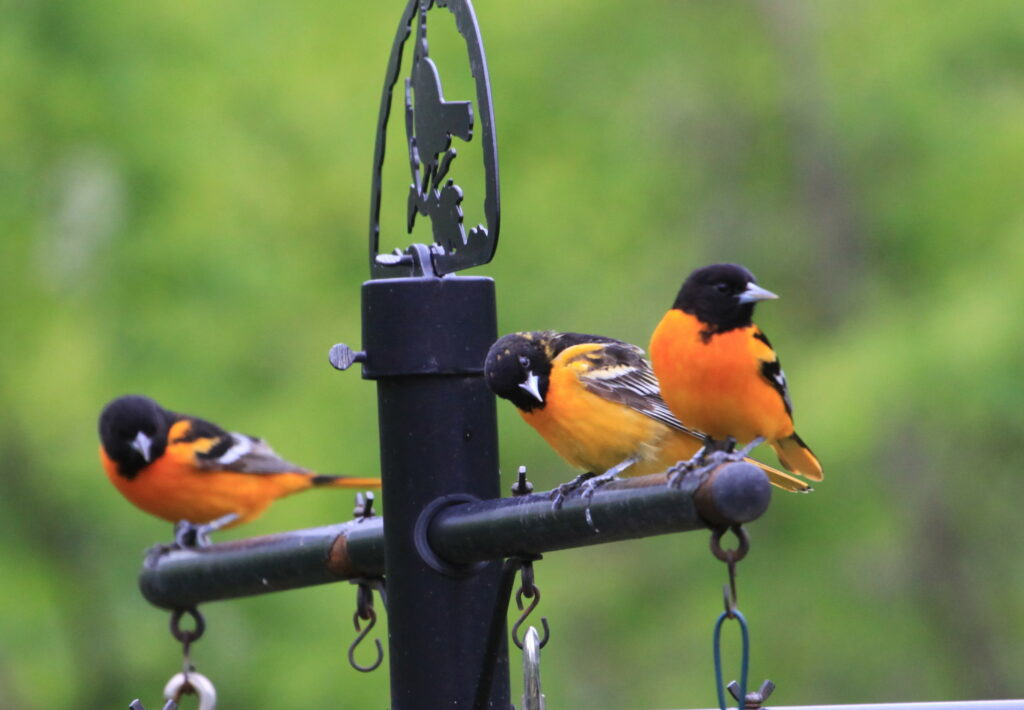 Baltimore orioles on feeder station