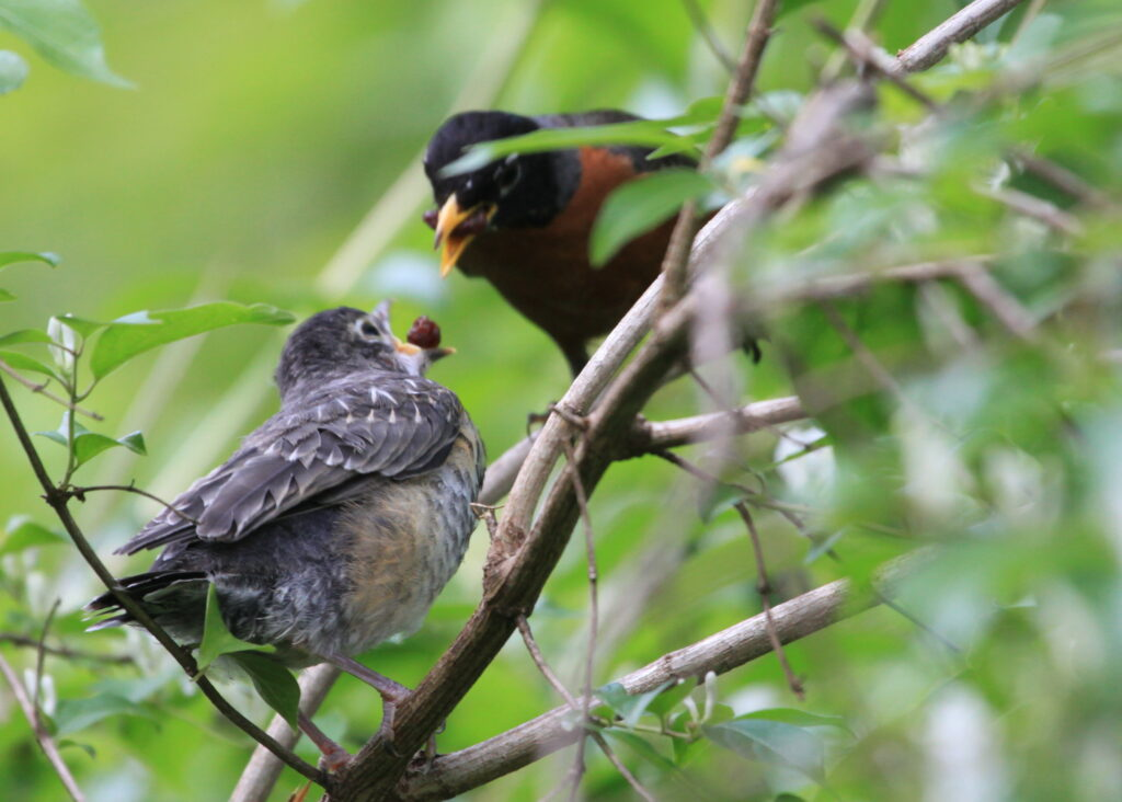 fledgling robin with parent