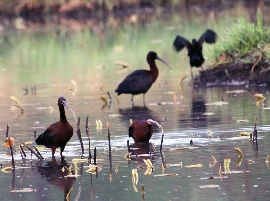 white faced and glossy ibis