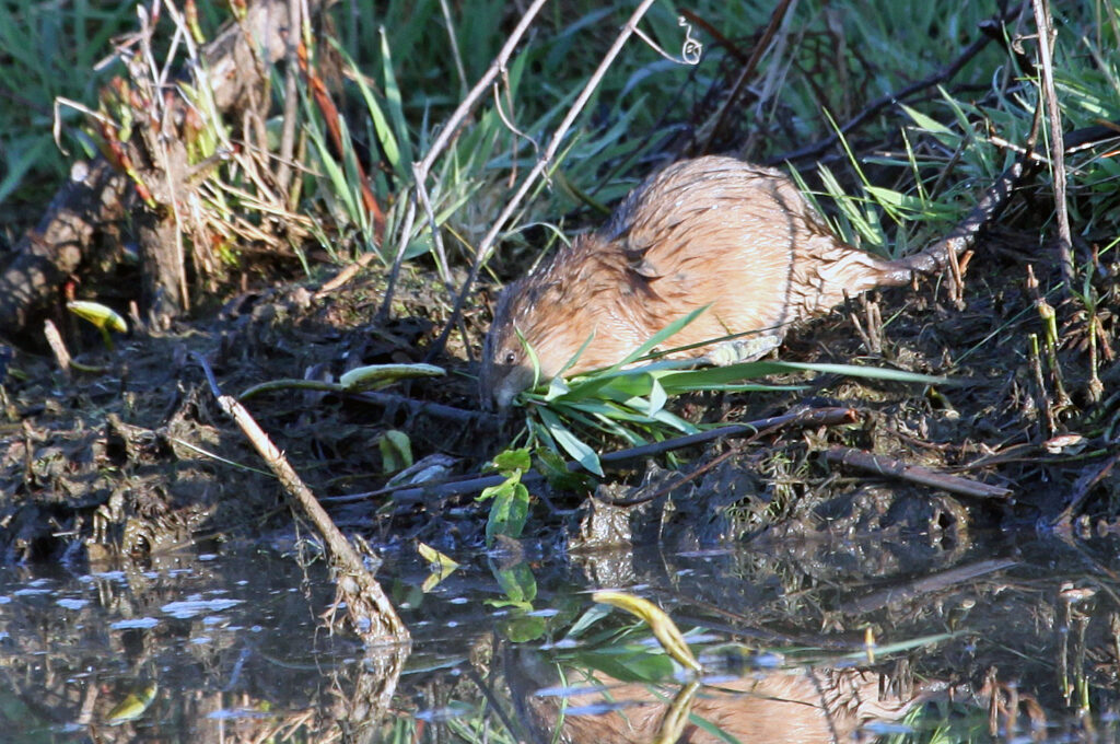 Muskrat with grass in mouth