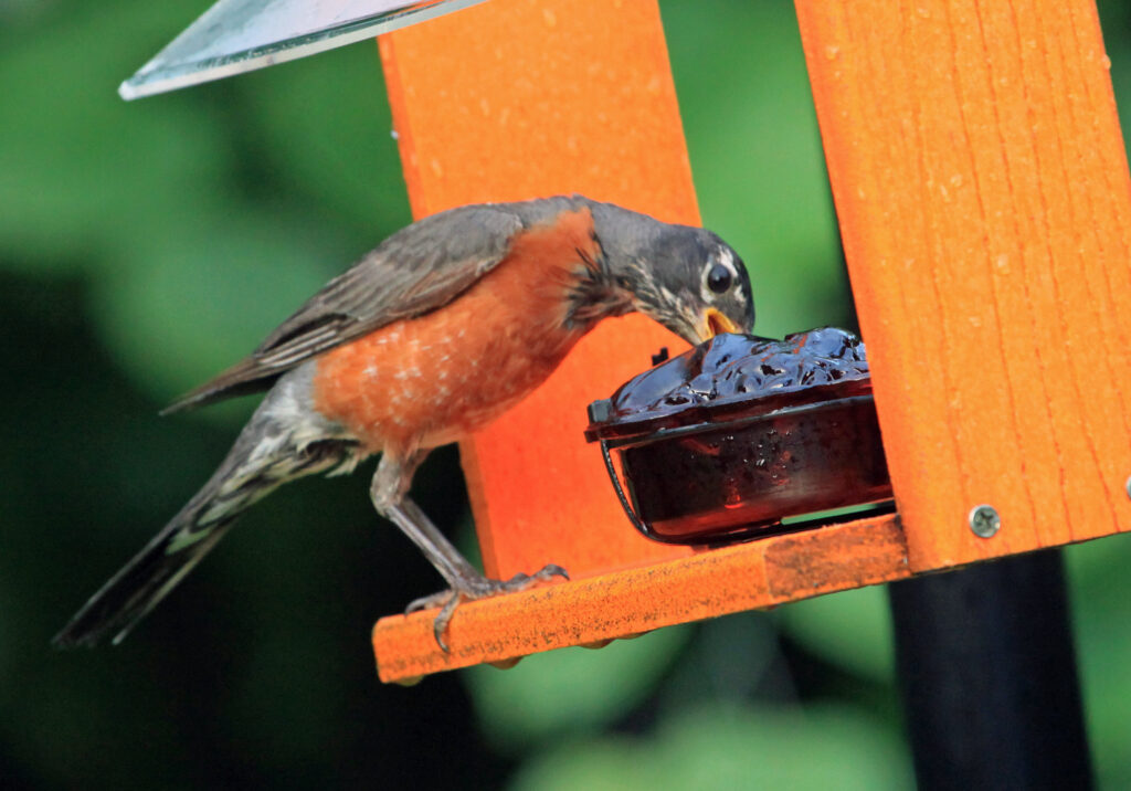 American robin eating from jelly feeder