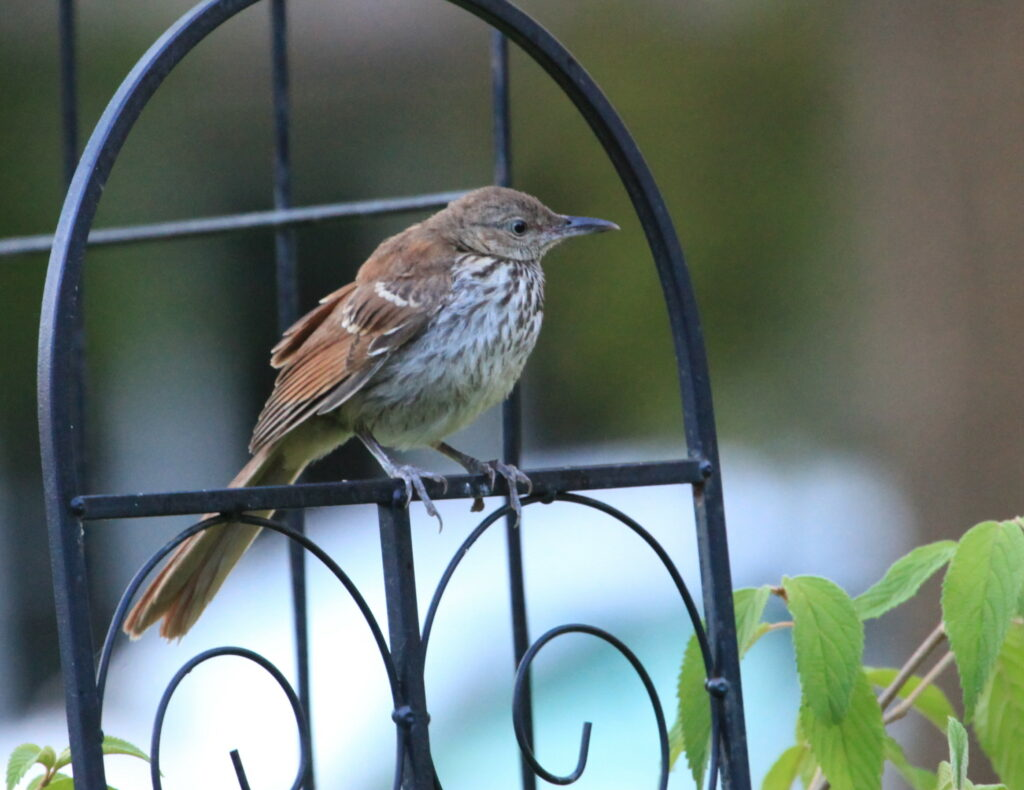 Young brown thrasher