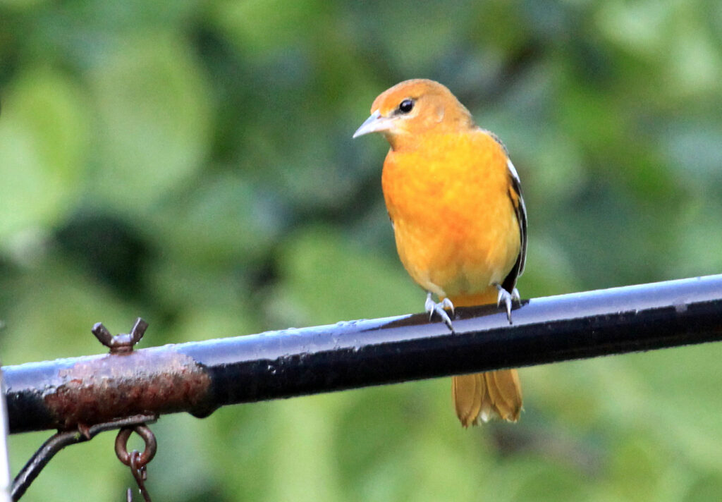 Possible female or young Baltimore oriole